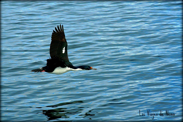 cormoranes-Ushuaia