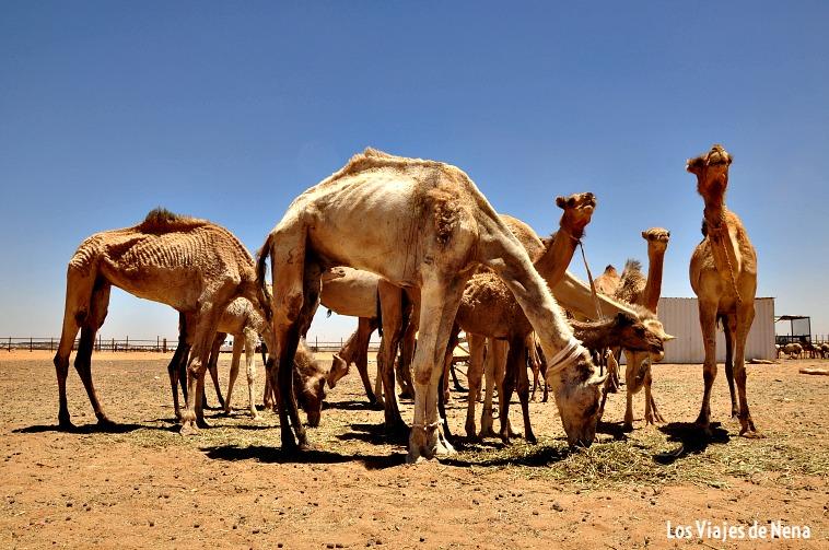 El mercado de camellos de Omdurman, uno de los imperdibles de cualquier viaje a Sudán.