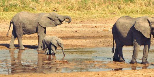 Safari en Tanazania, Tarangire, elefantes en fuente de agua