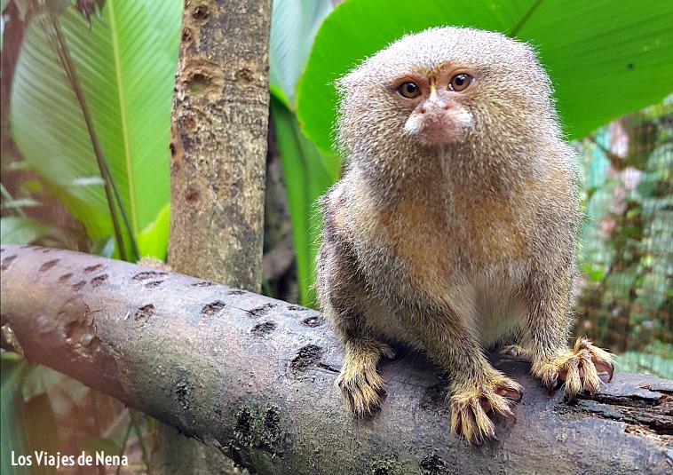 "Leoncillo, o mal llamado ""mono de bolsillo"""
