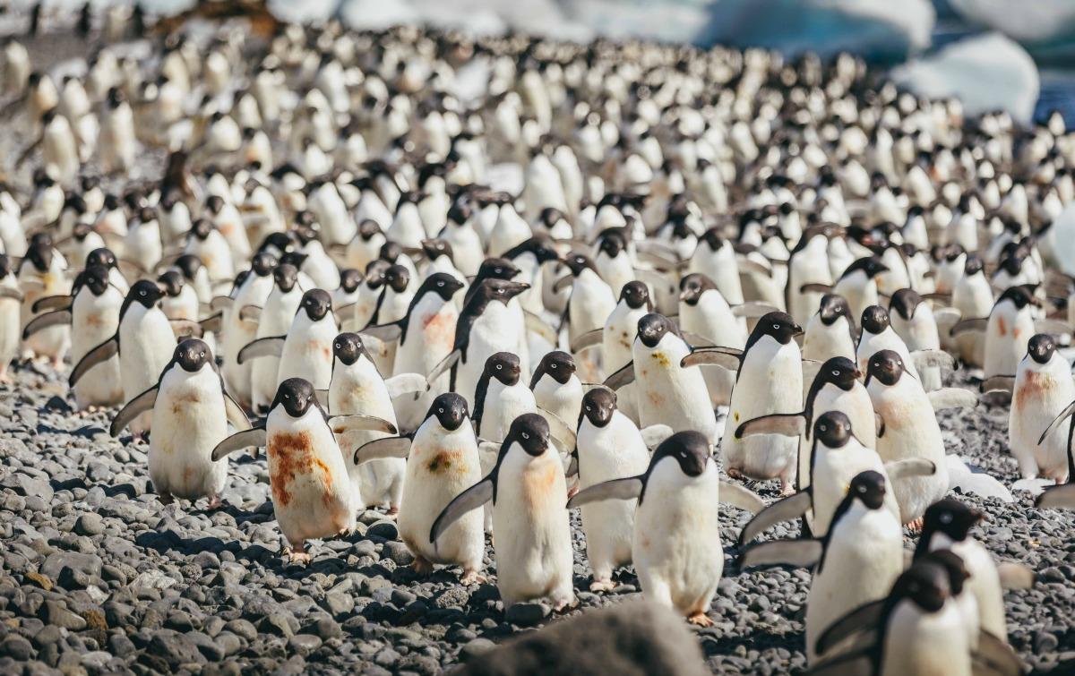 Colonia de pingüinos Adelia, en Antártida.